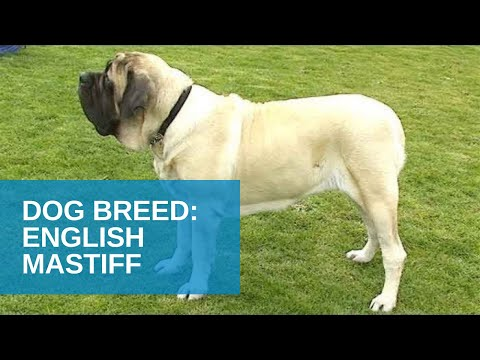 Dog Breed Video: English Mastiff
