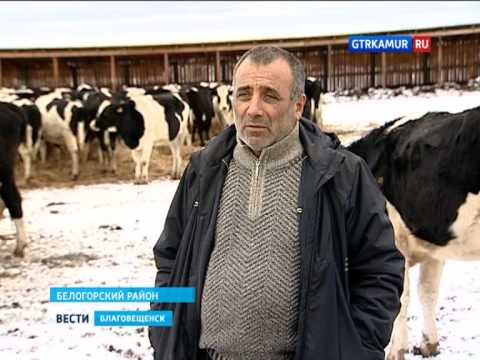 Фермерское хозяйство Крыловых. Дойные коровы Черно пестрой породы .