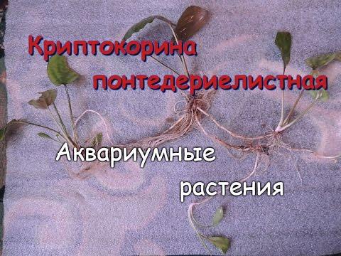 Криптокорина понтедериеволистная(Cryptocoryne pontederiifolia)