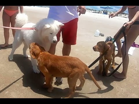 Husky Meets Puppies | Two Golden Retrievers At The Beach