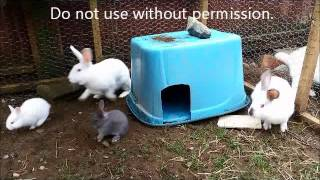 Nature can be cruel - adult rabbit attacks baby bunny