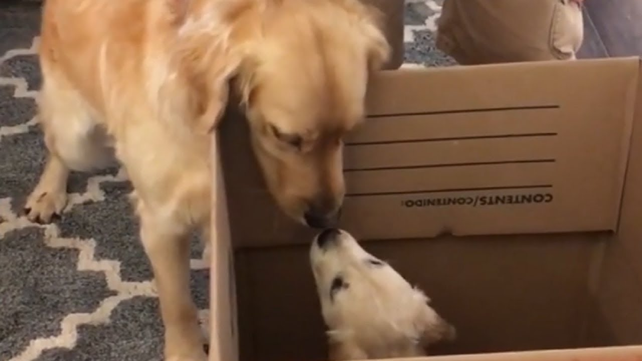 Golden Retriever Is Super Excited To Meet Puppy Sister