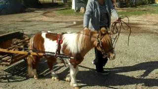 Saber The Miniature Horse 1st Time Under Cart