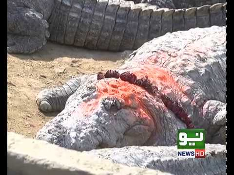 """Special feature story on""""MANGHOPIR CROCODILES"""""""