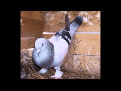 Güvercinler Ne Diye Bağırır 70