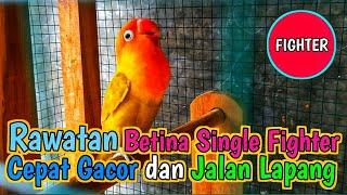 Download lagu Rawatan Lovebird Betina Single Fighter agar cepat Gacor dan Jalan lapangan