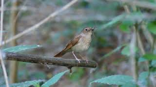 Download 25 Seconds with a Nightingale (Luscinia megarhynchos) in Romania