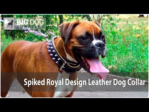 Pretty Boxer Dog Wearing Spiked Royal Design Leather Dog Collar