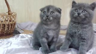 Донецк.Шотландские котята -продажа.