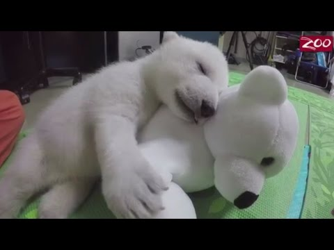 Adorable polar bear