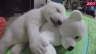 Repeat youtube video Adorable polar bear cub, rejected by her mother doing great at Columbus Zoo