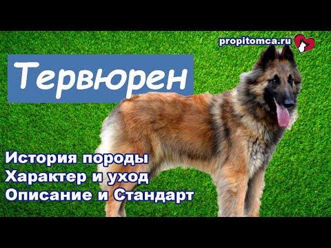 Тервюрен - длинношерстная бельгийская овчарка любой масти. Описание породы собак