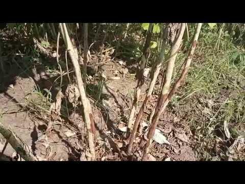 Пятна на стеблях малины.Пурпурная пятнистость(Дидимелла). Срочно принимаем меры!!!