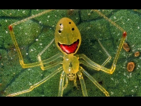 happy face spider  # 2