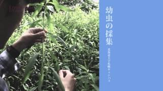 北海道大学総合博物館 2011年度 夏の企画展示 「LEPIDOPTERA(レピドプ...