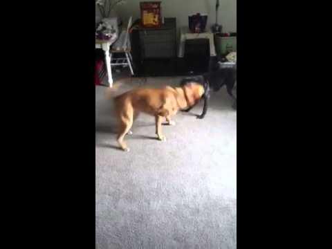 Dingo Vs PitBull