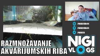 Razmnožavanje Akvarijumskih Riba - Kako Uzgojiti Ribice #Akvaristika