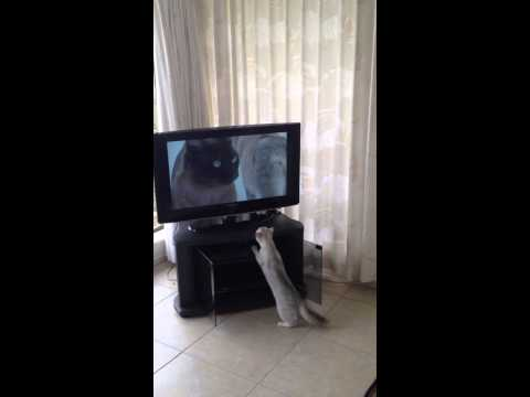 Burmilla cat watching TV