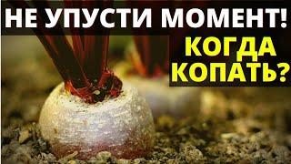 Не упусти!!! КОГДА выкапывать свеклу осенью в сентябре и октябре