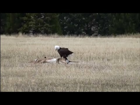 American Bald Eagle Devours Deer (With Other Eagles Soaring Nearby)
