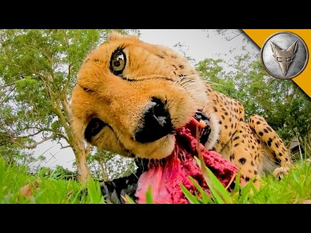 MEATING a Cheetah!