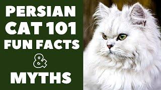 Persian Cats 101 : Fun Facts & Myths