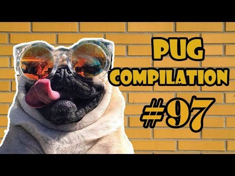 NEW ! Pug Compilation 97 - Funny Dogs but only Pug Videos | Instapugs