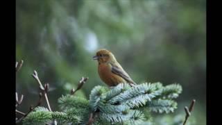 Canto degli uccelli della foresta, suoni rilassanti della natura. Binaural recording ASMR. screenshot 1