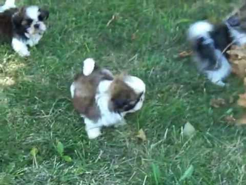 Richmond Kennel Diva And Tashi Pups Youtube