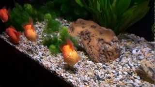 Goldfish Aquarium - Ocean Park, Hong Kong 1080p HD (Golf Ball Pearlscale Goldfish Tank)