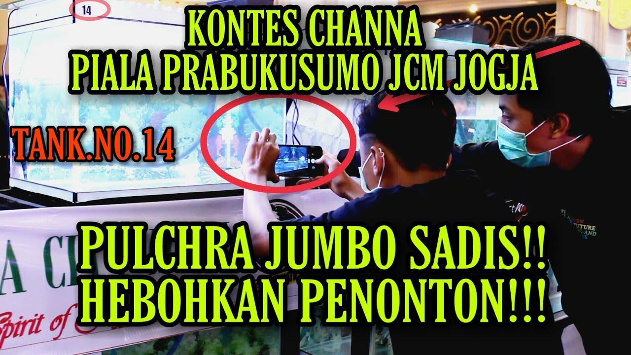 Download KONTES CHANNA PIALA PRABUKUSUMO JCM, PULCHRA JUMBO SADIS HEBOHKAN PENONTON!!! TANK NO.14!!!