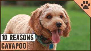 Top 10 Reasons Why You Should Get A Cavapoo   Dog World