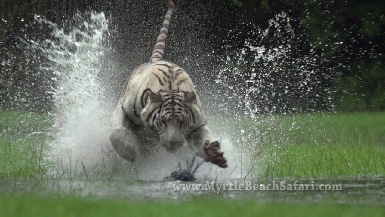 new!! tiger run - myrtle beach safari - youtube