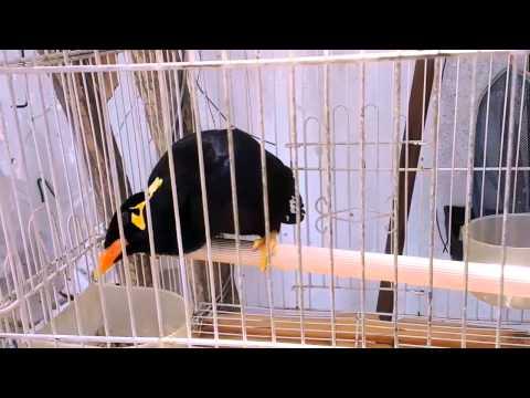chim Nhồng nhà tui
