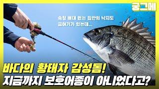 [궁그메] 바다의 황태자 감성돔! 지금까지 보호어종이 …