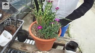 園芸家の杉井志織さんが、4~5年かけて成長の様子を楽しむ、カーネーシ...