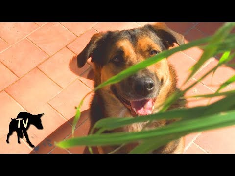 Can Dogs Eat Wheatgrass?