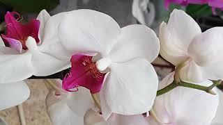 Орхидеи . Цветы . Очень красивые орхидеи . нежность и красота в цветах