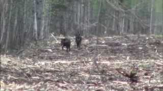 Wide North Outfitters Presents: Wolf Hunting in Alberta Canada