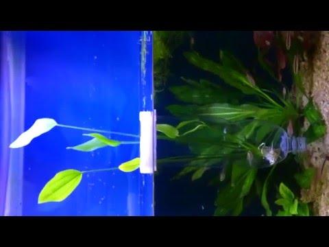 KrasVlad.2015.06.19 Echinodorus palaefolius (var latifolius) Перевод в подводную форму