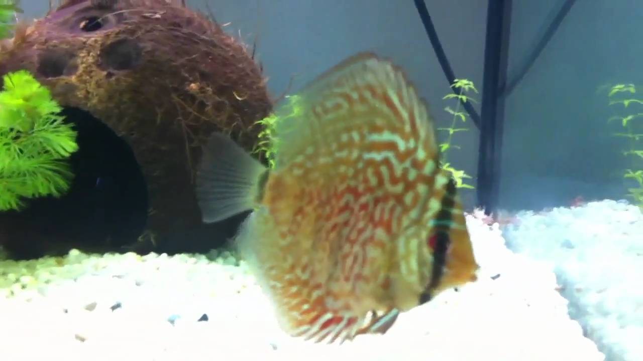 pesce discus nel mio acquario youtube