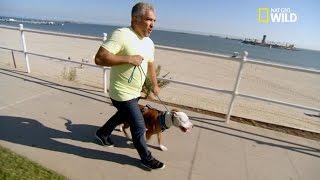 César croise un Pitbull très agressif - Sos césar