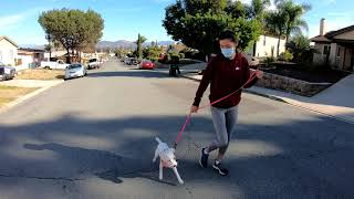 First Walk on Prong  8 Month Jack Russell Terrier