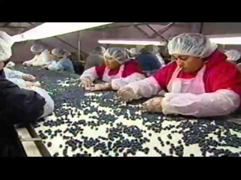 Naturipe Berry Quick fresh Blue Berry Snacks