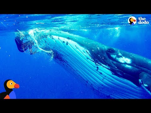 Whale Protects Diver From Shark | The Dodo