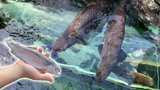 Arapaima swallows rainbow trout