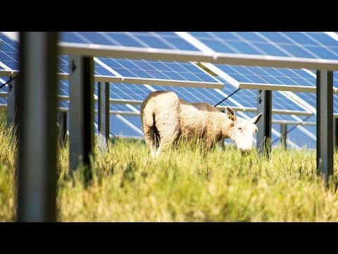 Sheep ❤ solar farms