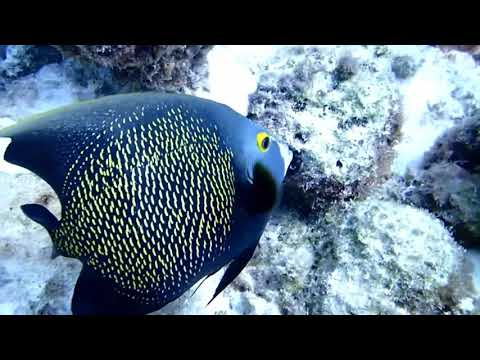 Pomacanthus Paru (French Angelfish)