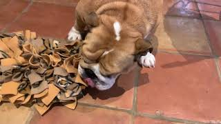 Lincoln and Birdie get new snuffle mats   ENGLISH BULLDOG