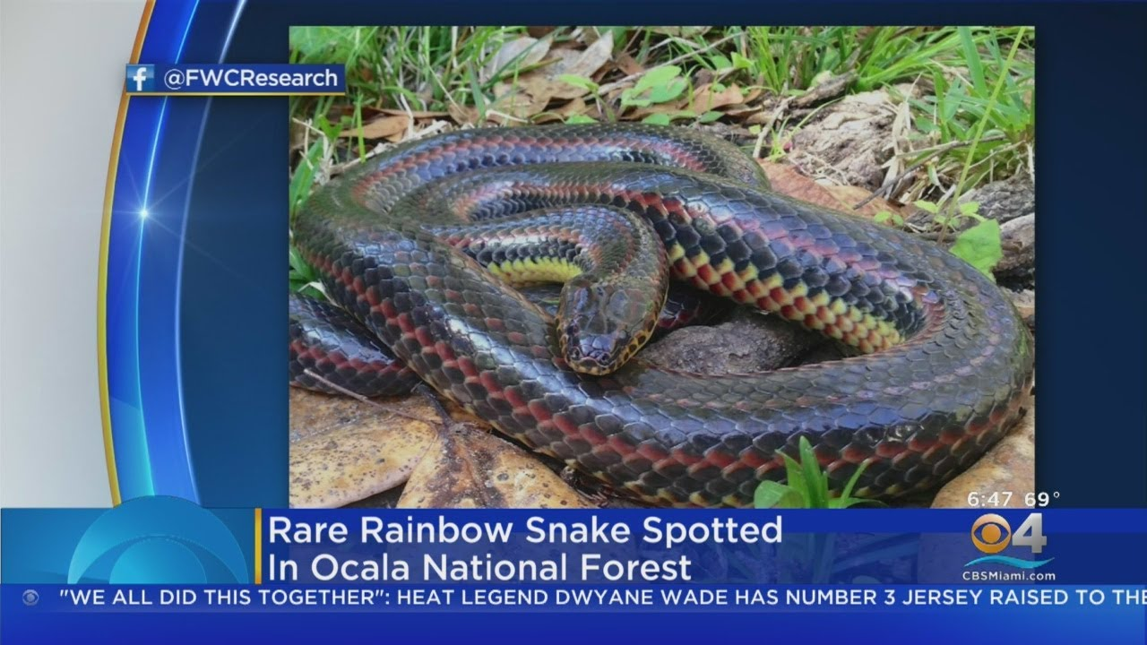 Rare rainbow snake spotted in Florida forest for the first time since ...